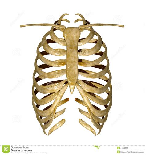 diagram rib cage human ribs cage numbering anatomy list