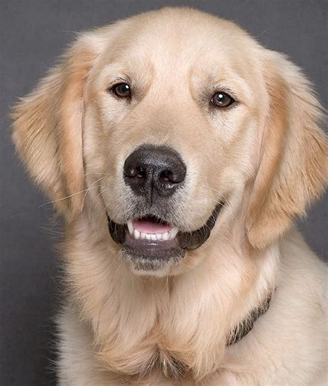 golden retriever dangerous 434 best images about golden retrievers on beautiful dogs the golden and