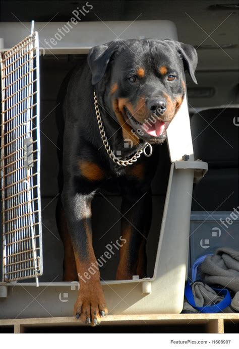 rottweiler in car picture of rottweiler in a box