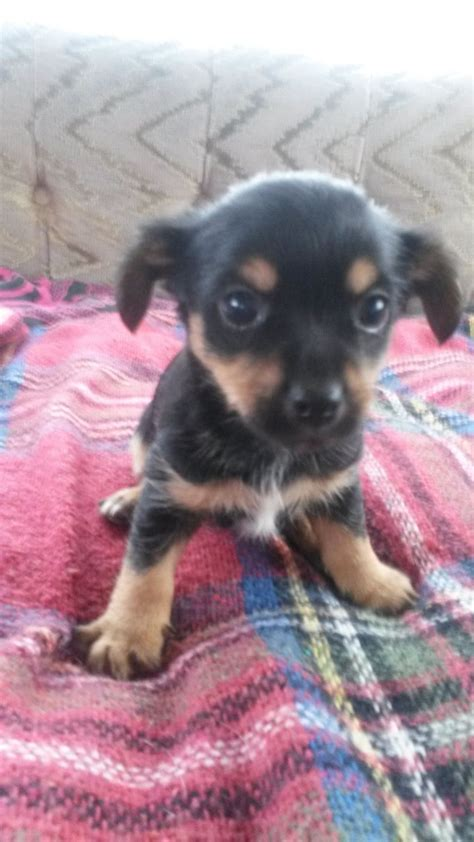 chihuahua cross yorkie puppies for sale terrier cross chihuahua puppies for sale exeter pets4homes