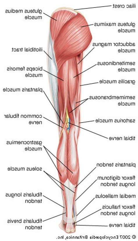 muscles diagram human anatomy diagram labeled ideas muscles in the leg