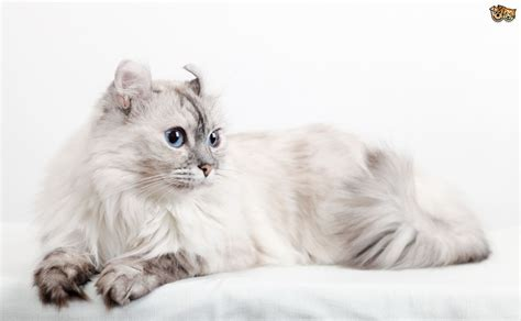 American Curl Cat Breed Information, Buying Advice, Photos