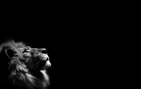 wallpaper black and white for android lion black and white desktop hd wallpapers 6399 amazing