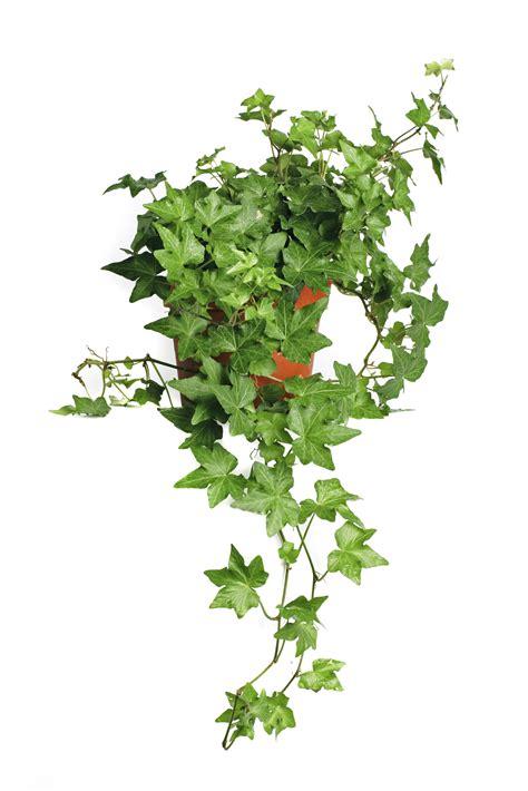 english ivy english ivy pet poison helpline