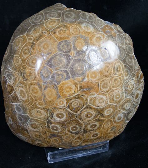 5 3 quot polished fossil coral head morocco for sale 8842 fossilera com