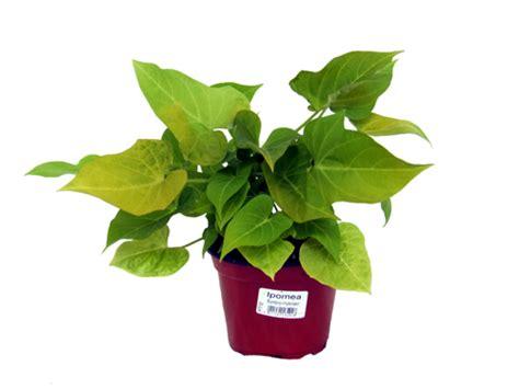 winterharte pflanzen für den garten 5 prunkwinden ipomea lexikon f 252 r kr 228 uter und pflanzen