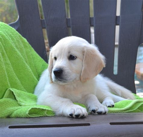 available golden retrievers 30 best golden retrievers images on golden retriever puppies