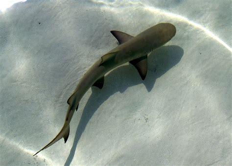 baby shark pictures panoramio photo of baby lemon shark