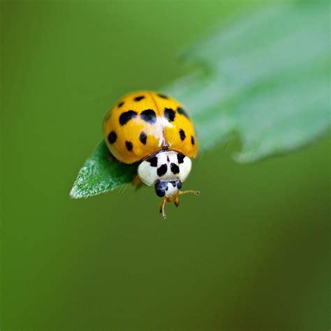 ladybug  asian lady beetle  family handyman