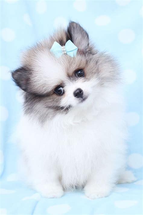 pomeranian boutique 17 best images about pomeranian puppies for sale on