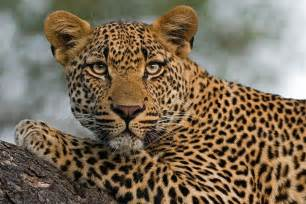 What Is The Difference Between A Leopard And A Jaguar Pin By Writingmuse Sweet Mystery Books On