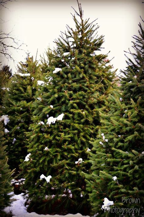 types of trees miller s christmas tree farm