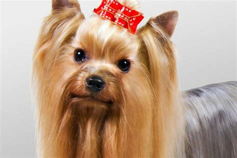 yorkie club yorkie barking is your terrier barking breeds picture