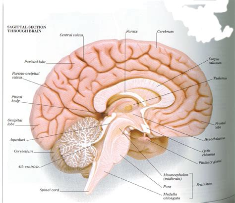 midsagittal section of human brain labeled diagram of sagittal section of human brain