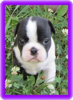 frenchton puppies for sale nc frenchton puppies for sale frenchie boston cross san diego california contact