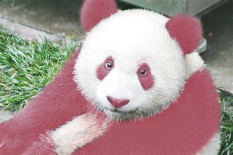 Panda Pink the hound