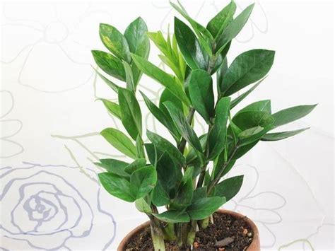 malattie piante appartamento zamioculcas foglie gialle malattie piante appartamento