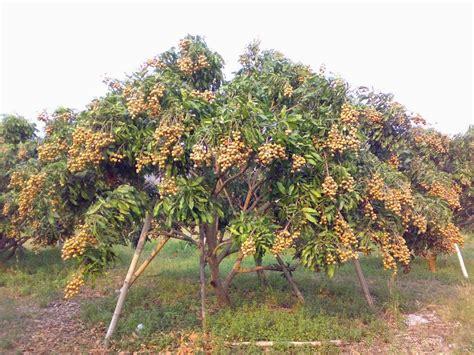 how to grow longan fruit trees daleys fruit tree buy grafted longan fruit trees