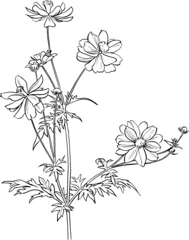cosmos flower coloring page 301 moved permanently