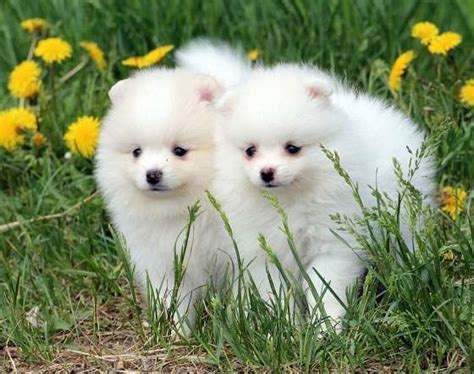 pomeranian breeder ontario adorable pedigree pomeranian puppies adorable pedigree pomeranian puppies for sale