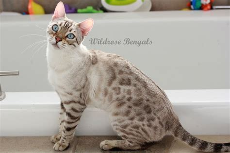 seal lynx point spotted snow bengal kitten by junglelure bengals of ava the snow charcoal bengal cat coloration seal lynx