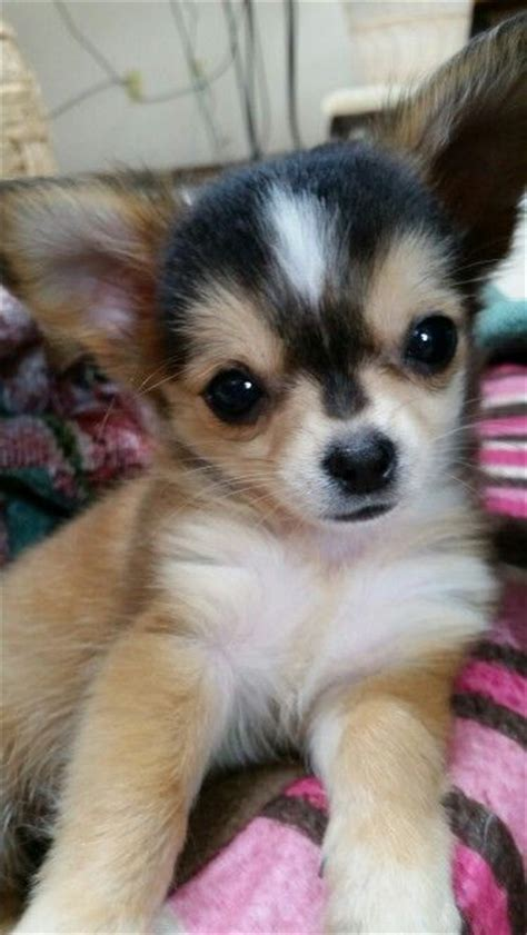 how many puppies do chihuahuas the time adorable puppies and animals chihuahuas chihuahua welpen und jungs