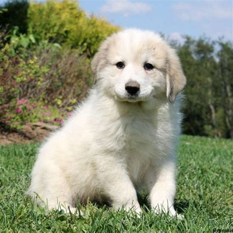 great pyrenees puppies price bethany great pyrenees puppy for sale in pennsylvania