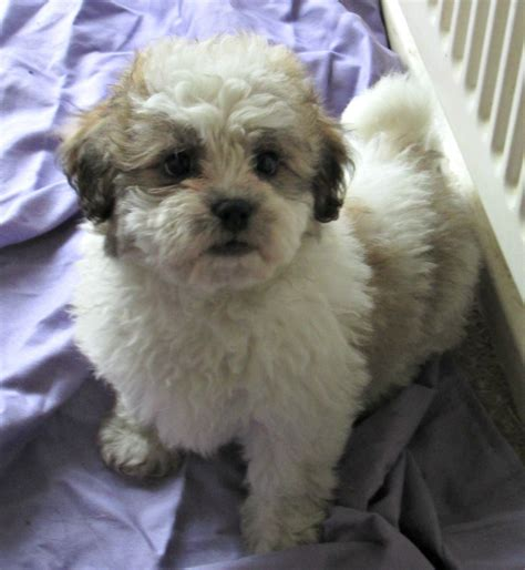 shih tzu mixed with wiener bichon frise puppies picture nj