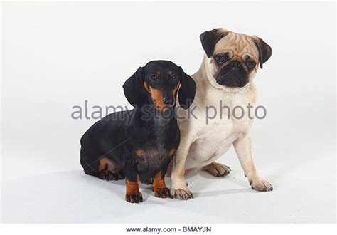 pug and dachshund smoot stock photos smoot stock images alamy