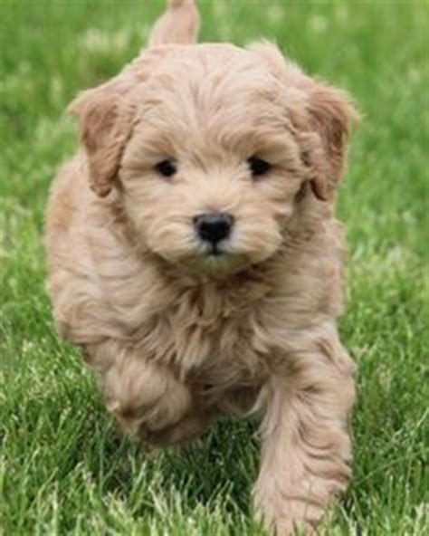 mini doodle iowa miniature goldendoodle puppy in the car family pet