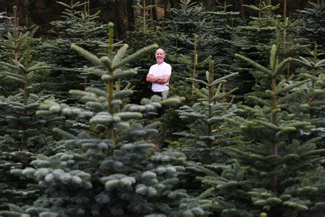 here s how many christmas trees ireland will harvest this