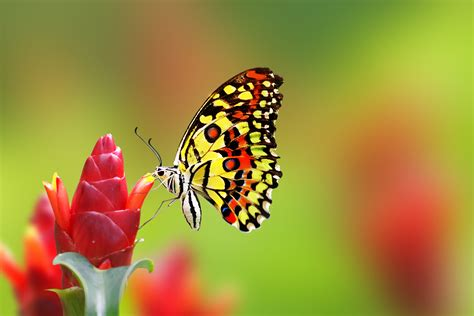 wallpaper butterfly flowers  animals