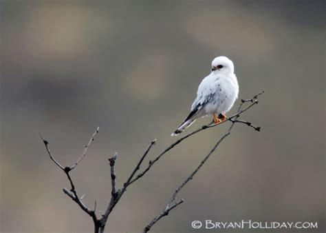 the hawk owl s nest leucistic kestrel