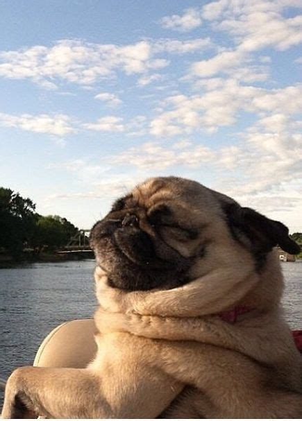pug haters 175 best images about lol animals on pets swimming and dr who