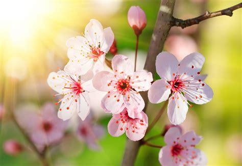 imagenes flores de cerezo banco de im 225 genes para ver disfrutar y compartir