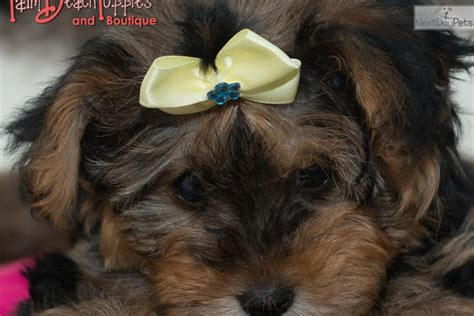 yorkie puppies for sale in west palm yorkiepoo yorkie poo puppy for sale near west palm florida e9a9c01c 09e1