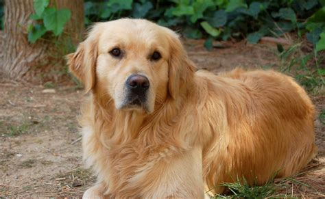 chion golden retriever chien elevage of gold n dreams eleveur de chiens golden retriever