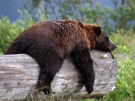 Bear S | grizzly bear animal wildlife