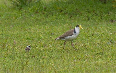 information about plovers