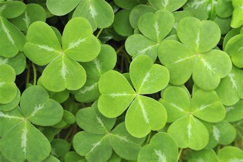 three leaf clover plant st s day 2016 how to say happy s day in and why we celebrate today