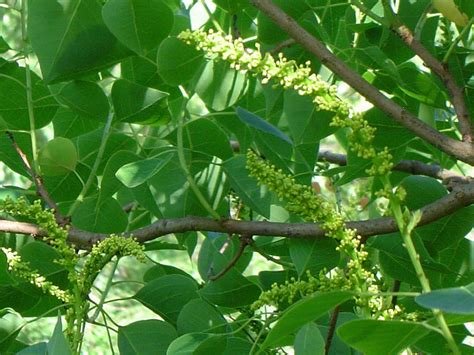 Plant Diseases Wikipedia - sapium tallow tree chinese