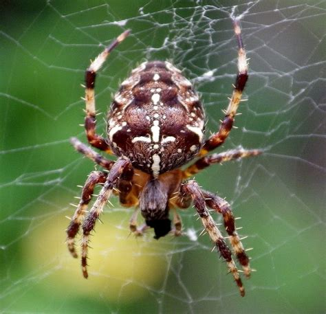 Garden Spider Uk 17 Best Images About Arachniphobia On Huntsman