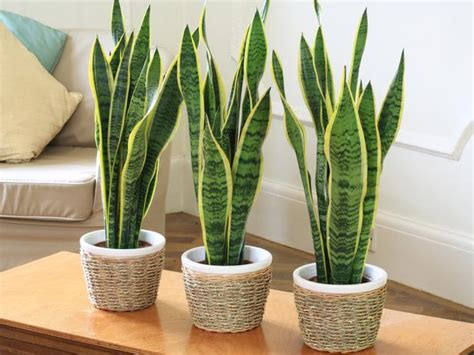 bathrooms without windows snake plant sanseviera this plant can handle very low light levels such as