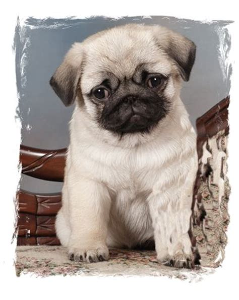 pug breeders northern california pug of the month april 2015 northern california pug club