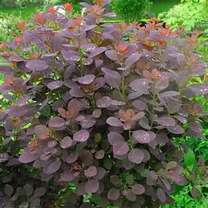 smoke bush cotinus coggygria royal purple mygarden org