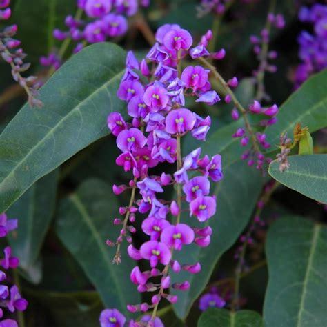great design plant purple lilac vine landscape phoenix by noelle johnson landscape consulting