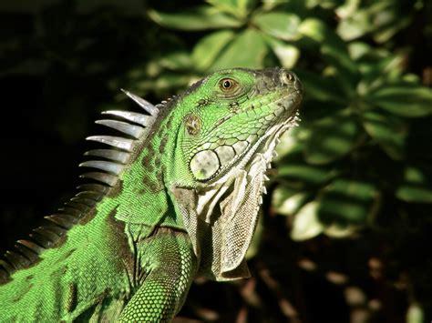 alimentazione iguana iguana verde cura e allevamento in terrario