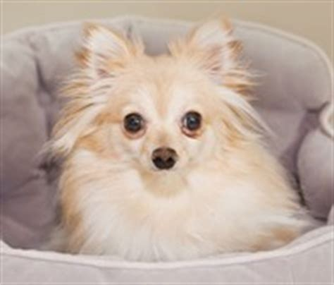 pomeranian and small breed rescue small dogs for adoption photograph pomeranian for adoption from m