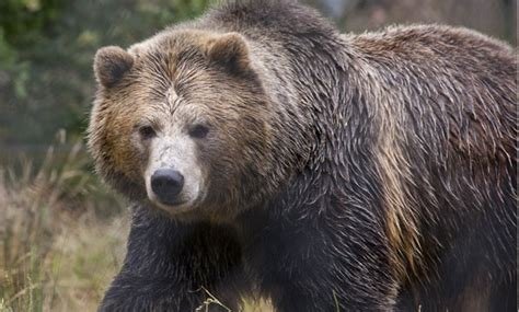 grizzly bears to return to california snowbrains
