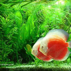 wallpaper bergerak ikan hias koleksi gambar ikan hias cantik
